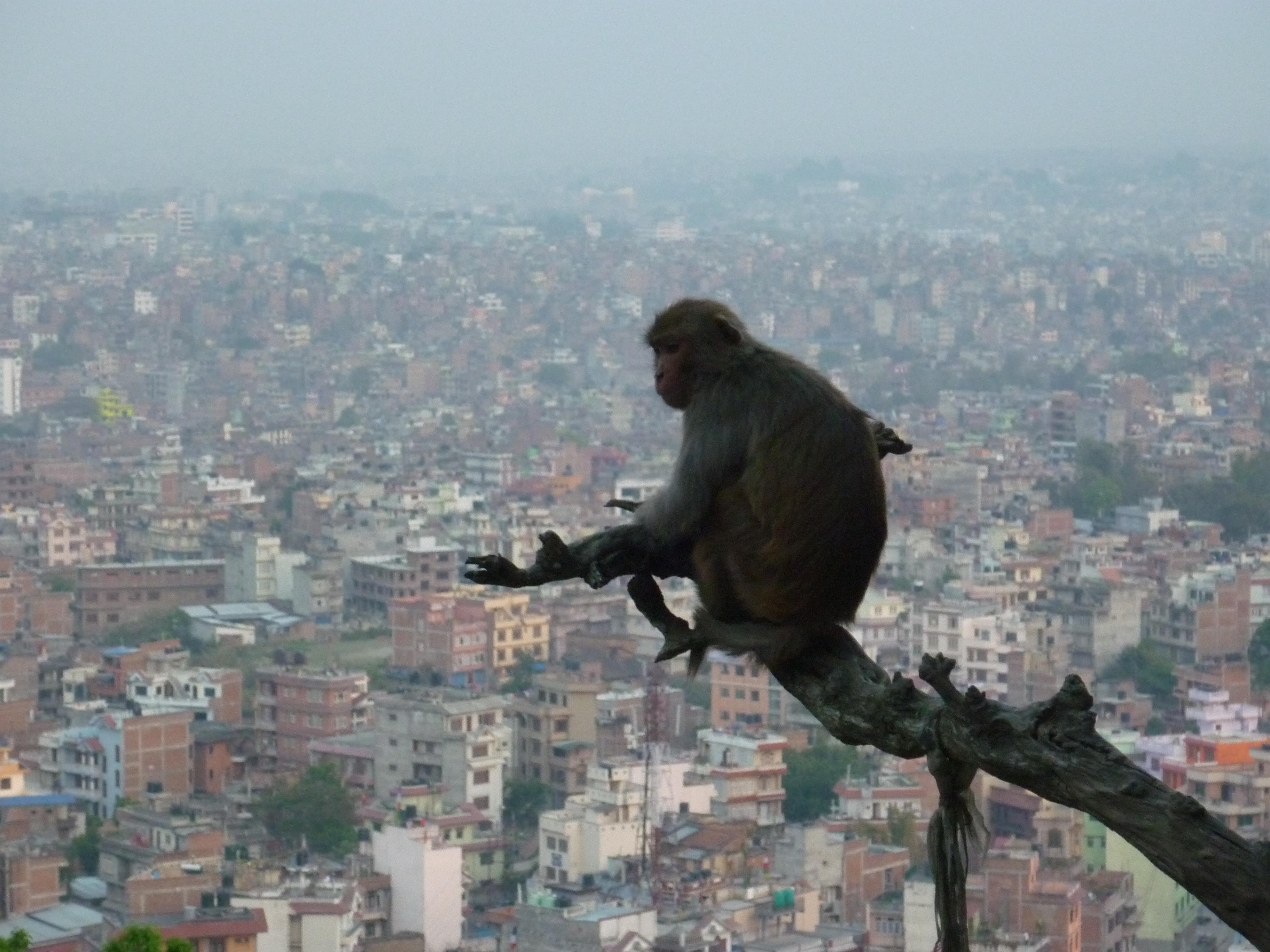 Kathmandu // Die Hauptstadt Kathmandu ist mit knapp einer Millionen Einwohner die größte Stadt Nepals. Ähnlich wie in Delhi herrscht hier ein unglaubliches Verkehrschaos, Abgase verpestet die Luft, Müll liegt herum und zu viele Menschen schieben sich durch zu enge Straßen.  Um mir einen Überblick zu verschaffen, steige ich den Hügel nach Swayambhu hinauf, um von oben auf alles und jeden zu blicken. Am Tempelkomplex angekommen, entdecke ich diesen Affen, der anscheinend dieselbe Idee gehabt hat. Was unterscheidet mich also von einem Primaten, frage ich mich. Warum überhaupt muss man sich selbst finden? Ist man nicht immer und überall nur man selbst? Um endgültige Gewissheit zu erlangen, entschließe ich noch weiter hinauf zu gelangen. Ich muss mich unbedingt über wirklich allem wissen, die Welt zu meinen Füßen und das All im Nacken. Also geht es dem Himmel entgegen ...